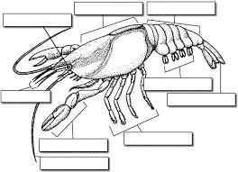 crayfish external anatomy virtual