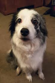 Puppy Eyes Meme - put me like 13 year old blue merle collie still giving those puppy