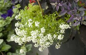 Plants That Repel Aphids by Sweet Alyssum To Control Pesky Aphids