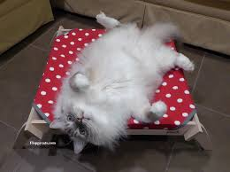 ragdoll cats or the floppy cat are all ragdoll cats floppy