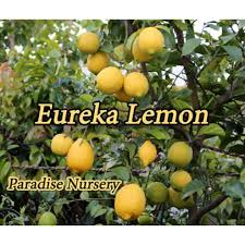 When Does A Lemon Tree Produce Fruit - citrus trees for sale at paradise nursery in los angeles california