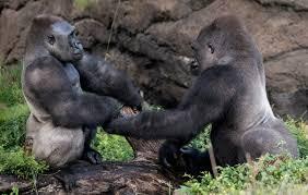 gorilla wounds common as males grow into silverbacks dallas zoohoo
