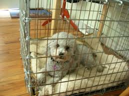 crate training poodle care u2014 the best source for people who love poodles