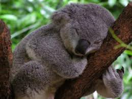 Angry Koala Meme - angry wet koala related keywords suggestions angry wet koala