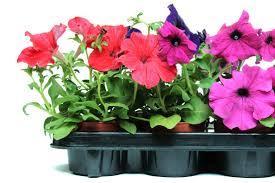 petunia flowers petunia 10 flower names merriam webster