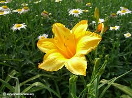 Yellow Flower - picture of yellow flower daylily
