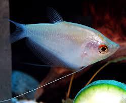 Types Of Aquarium Fish Different Species Of Gourami Fish