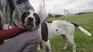 bluetick coonhound puppies illinois detroit lakes man accused of body slamming puppy breaking its leg