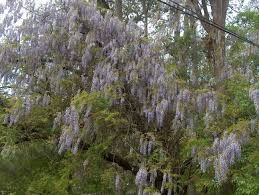 online plant guide wisteria sinensis chinese wisteria