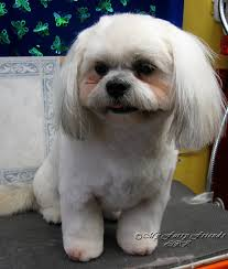 haircuts for shih tzus males pet grooming the good the bad the furry scissoring a shih