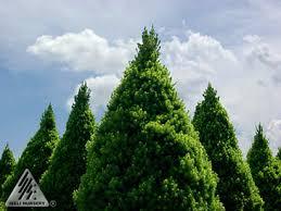 picea spruce