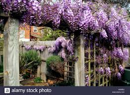 wisteria growing trellis stock photos u0026 wisteria growing trellis