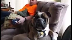 boxer dog howling funny dog video bulldog