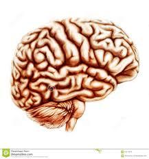 Image Of Brain Anatomy Human Brain Anatomy Illustration Stock Illustration Image 63017879