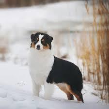 risk n hope australian shepherds petition american kennel club u0026 greenfield animal control