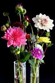 dalia in vaso dalias flores vaso dalia de free photo on pixabay