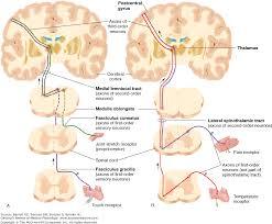 Pain Reflex Pathway Chapter 8 Somatosensory Neurotransmission Touch Pain And