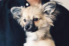 affenpinscher and chihuahua chihuahua mixes that are so cute your brain will explode unleashed