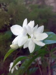 fragrant flowers the 5 most fragrant flowers for your kauai commercial property