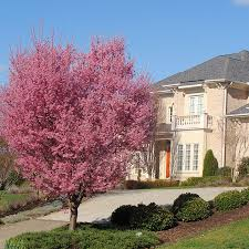 okame cherry trees for sale fast growing trees