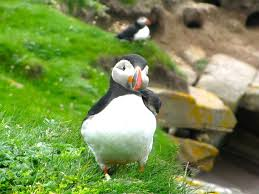 where to find puffins in scotland owlcation