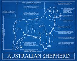 australian shepherd joint problems australian shepherd blueprint elevation australian shepherd
