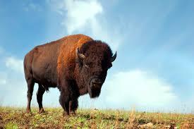 Oklahoma wildlife images Where the buffalo roam oklahoma 39 s official travel jpg