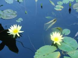Blue Lotus Flower Meaning - healthy and happy u201d and the symbolism of the lotus flower healthy