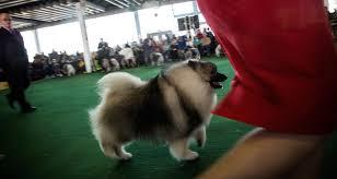westminster australian shepherd 2014 photos 2014 westminster kennel club dog show