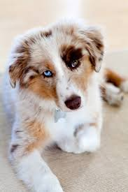 australian shepherd how much when a dog has two different colored eyes it u0027s called