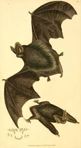 181 best chauve souris images on pinterest bats mammals and animals