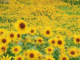 foto wallpaper bunga matahari nature sunflower field picture nr 16411