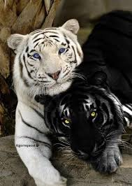 white tiger images black and white wallpaper and background photos