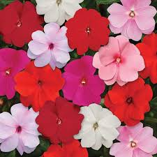 impatiens flowers all color mix new guinea hybrid impatiens jung garden and