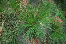 pinus radiata landscape architect s pages
