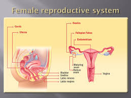 Pregnant Female Anatomy Diagram Ch 18 U0026 19 Ch 18 Pages Ch 19 Pages Ppt Download