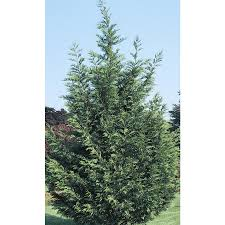 shop 2 25 gallon leyland cypress screening tree l3153 at lowes com