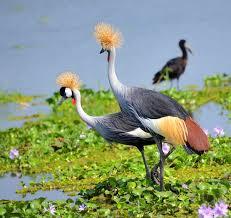 grey crowned crane wikipedia