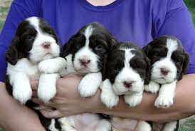 brownwell english springer spaniels