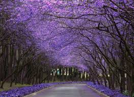 248 best flora jacarandas clouds of lavender coloured flowers