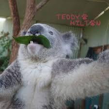 Angry Koala Meme - lovely 28 angry koala meme wallpaper site wallpaper site