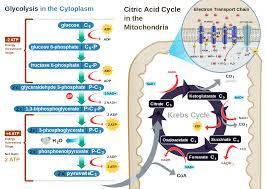 cellular respiration cellular respiration wikipedia biology
