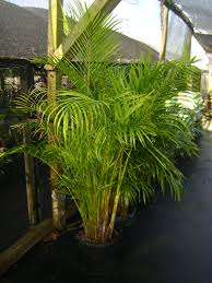buy areca palm trees for sale in orlando kissimmee