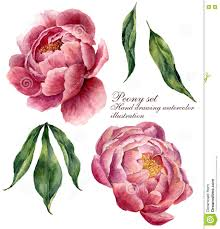Peony Flowers Watercolor Floral Elements Set Vintage Leaves And Peony Flowers