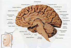 brain dissection diagram human anatomy library