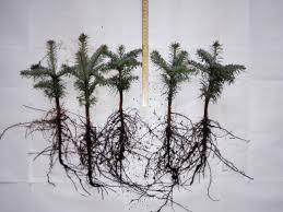 abies nordmanniana wholesale plants denmark europe
