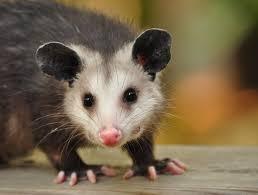 watch out possums appear to be taking over brooklyn