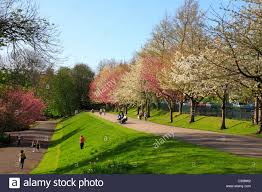 blossom trees in crookes valley park sheffield south yorkshire