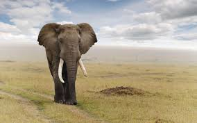 cool elephant wallpaper elephant wallpapers wallpaper cave