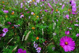 autumn flower field large purple flower flowers free nature